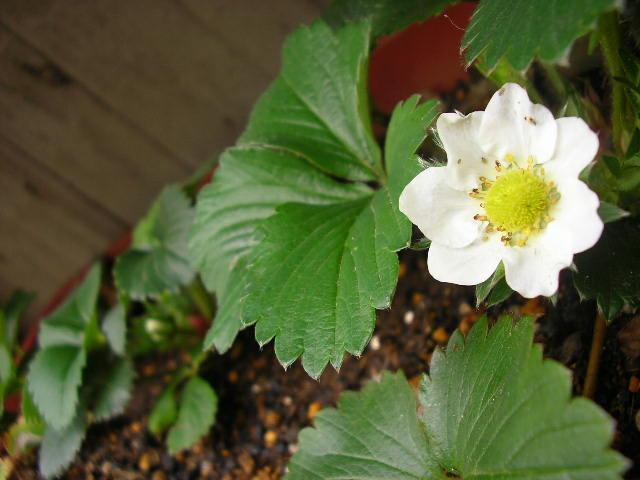 イチゴの花が咲きました!_c0033678_17481976.jpg