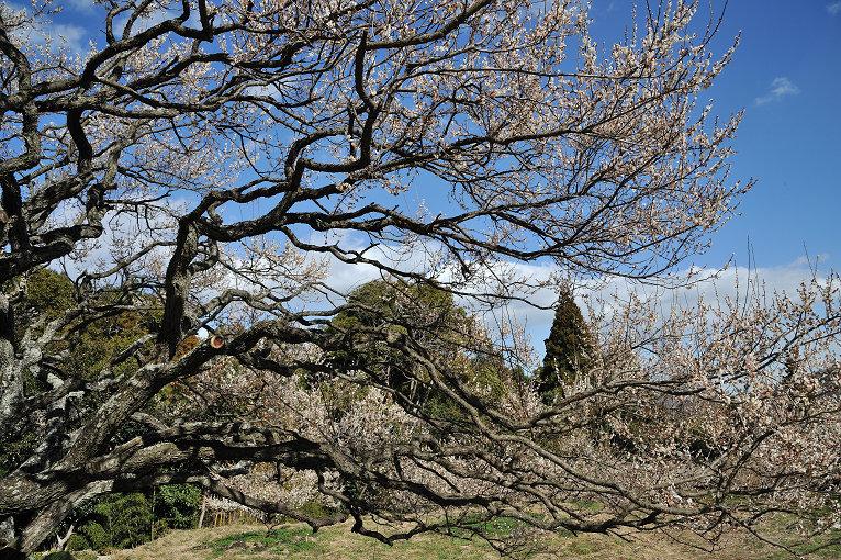 梅の杉山園と長楽寺の梅_e0170058_19353880.jpg