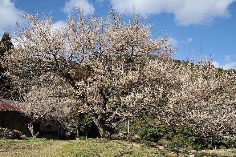 梅の杉山園と長楽寺の梅_e0170058_1935579.jpg
