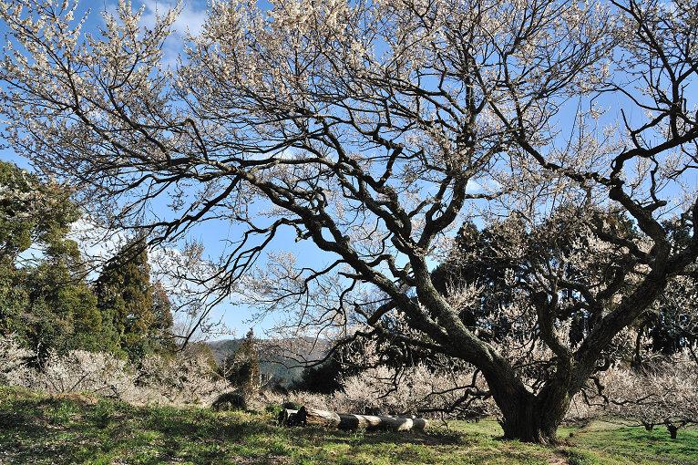 梅の杉山園と長楽寺の梅_e0170058_19364792.jpg
