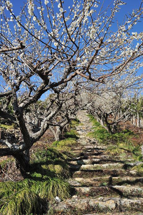 梅の杉山園と長楽寺の梅_e0170058_19375933.jpg
