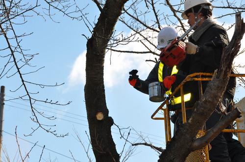 「下の川の桜」保全の作業を行いました_f0226571_13144138.jpg