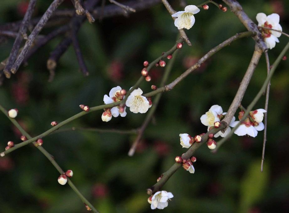 白梅の下に沈丁花の赤い花_a0107574_743446.jpg