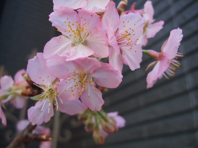 オークリーフ(春の花木と河津桜)_f0049672_16111568.jpg
