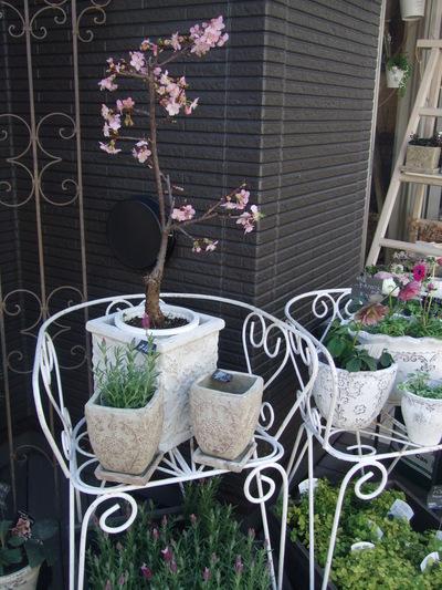 オークリーフ(春の花木と河津桜)_f0049672_16122885.jpg