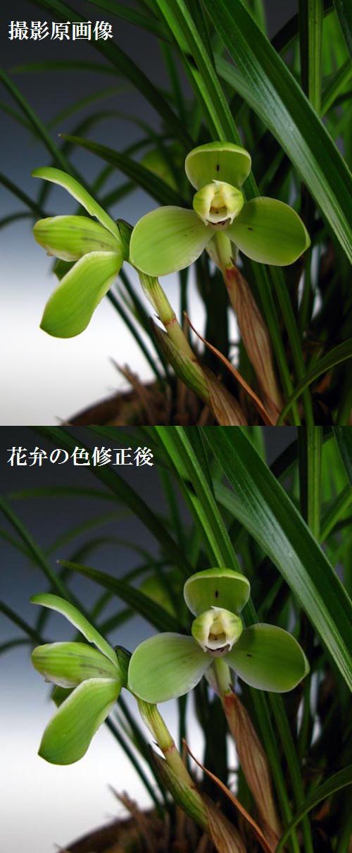 中国春蘭「宋梅」                    No.955_d0103457_10583.jpg