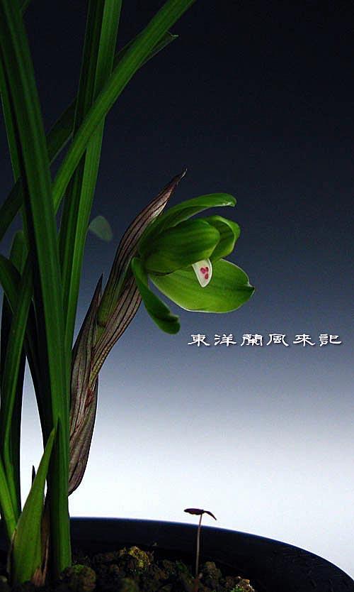 中国春蘭「西神梅」「桂円梅」            No.956_d0103457_23514514.jpg