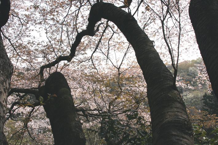 11・4・2「北鎌倉ウォッチング」―探訪!幻の大蛇ザクラ―_c0014967_940469.jpg