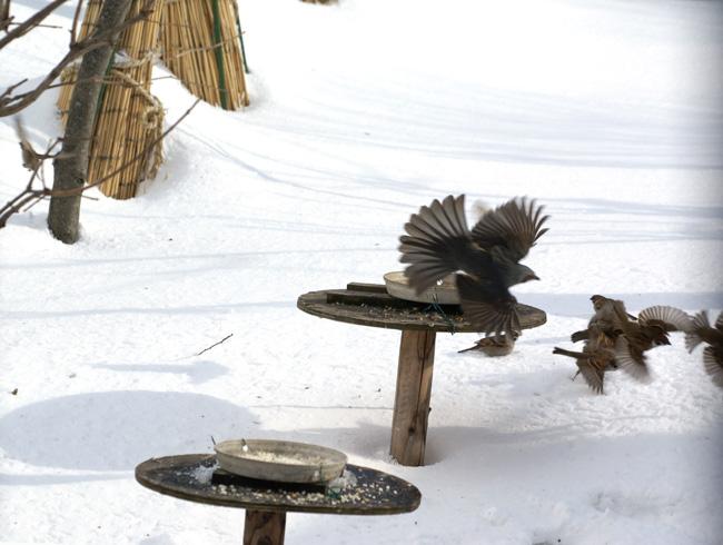 困ったちゃんのヒヨドリ。 3月の吹雪など_a0136293_14191869.jpg
