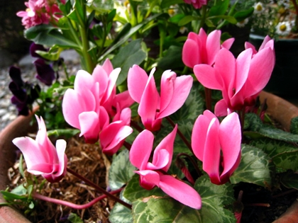シクラメンが咲きました_e0134835_13401860.jpg