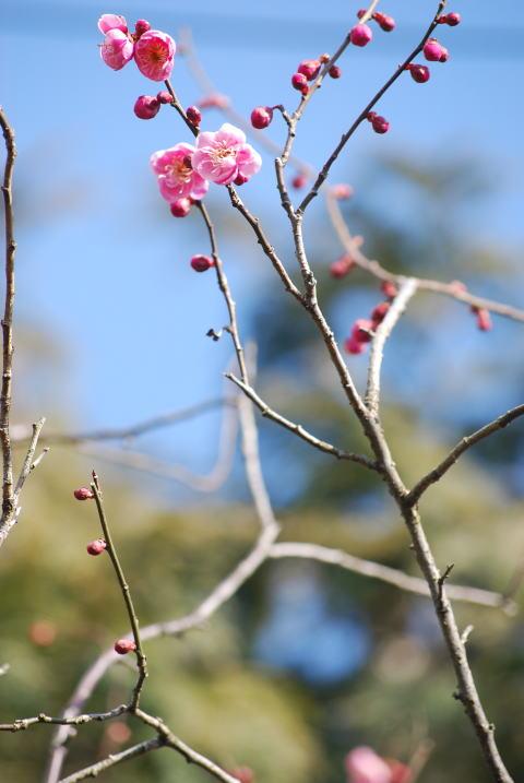 梅の花が・・・_b0189573_19142353.jpg