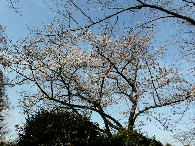 大船植物園の玉縄桜_e0145782_16335776.jpg