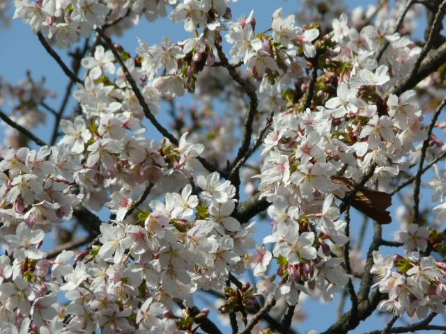 大船植物園の玉縄桜_e0145782_16342323.jpg