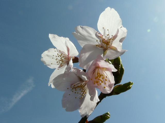 大船植物園の玉縄桜_e0145782_16345137.jpg