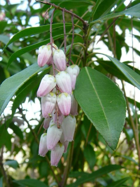 大船植物園の玉縄桜_e0145782_16351698.jpg
