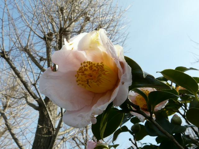 大船植物園の玉縄桜_e0145782_16354437.jpg