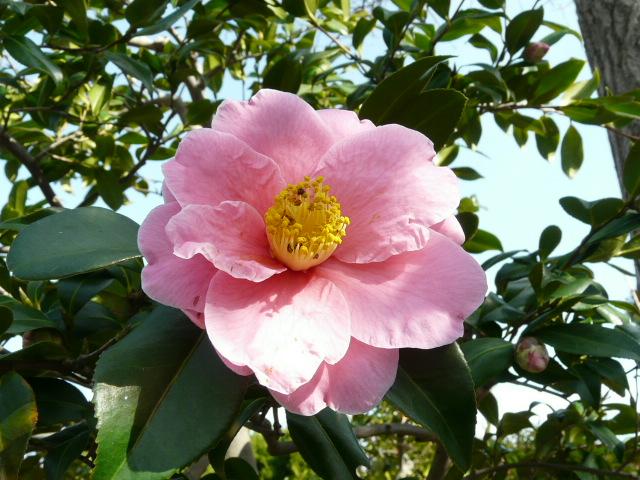 大船植物園の玉縄桜_e0145782_16375057.jpg
