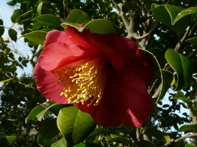 大船植物園の玉縄桜_e0145782_16384083.jpg