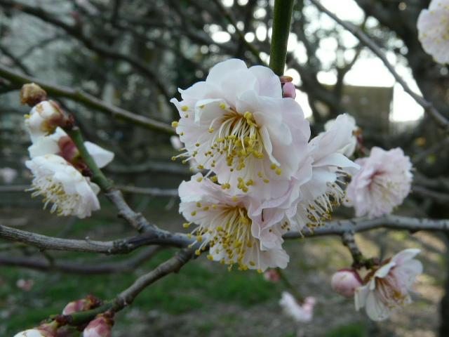 大船植物園の玉縄桜_e0145782_16392864.jpg