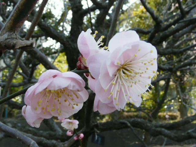 大船植物園の玉縄桜_e0145782_1639322.jpg