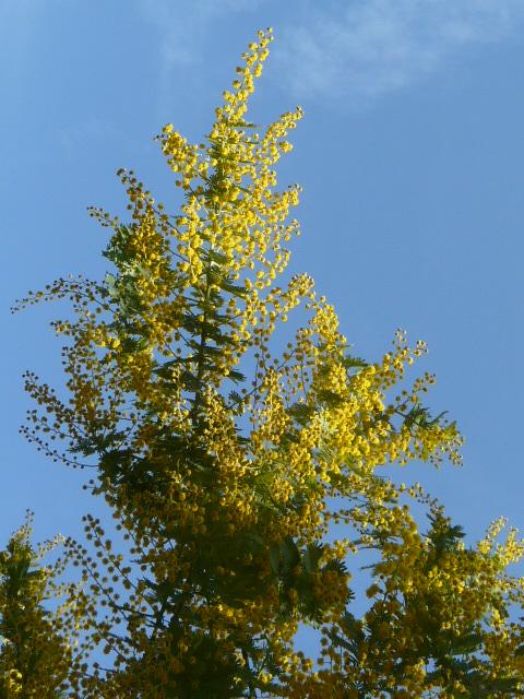 大船植物園の玉縄桜_e0145782_16402910.jpg
