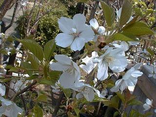 オオシマザクラ(桜② 江戸の花と木)_c0187004_11132015.jpg