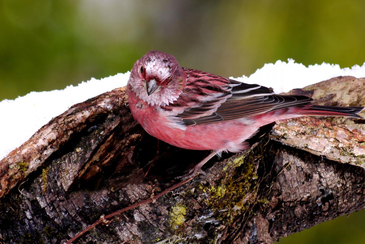 赤い鳥 オオマシコ _f0215767_17374988.jpg