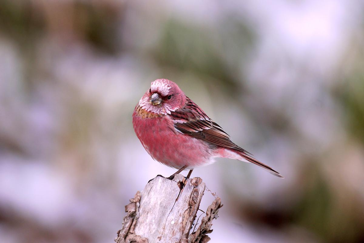 赤い鳥 オオマシコ _f0215767_17375754.jpg