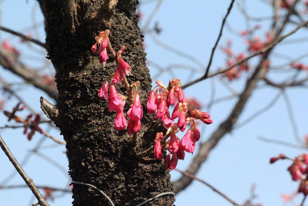 不忍池(しのばずのいけ)の桜_a0107574_19432626.jpg