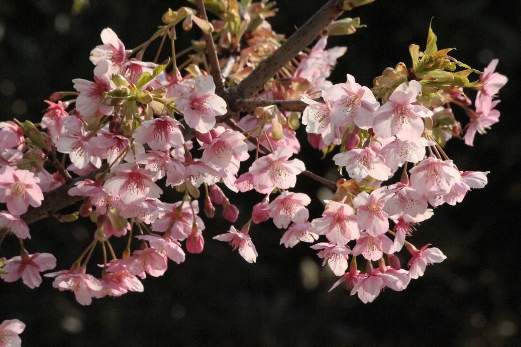 不忍池(しのばずのいけ)の桜_a0107574_19434556.jpg