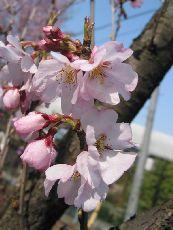 エドヒガン (桜③ 江戸の花と木)_c0187004_1612179.jpg