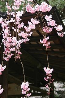 エドヒガン (桜③ 江戸の花と木)_c0187004_1614436.jpg