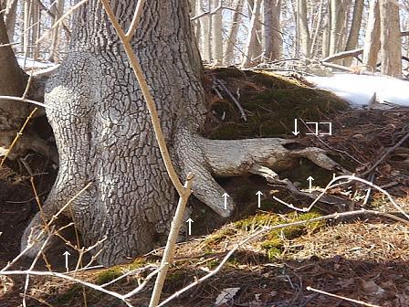 巣穴からでてきたシマリス と クルピコ尻尾のらもす_e0147716_724783.jpg
