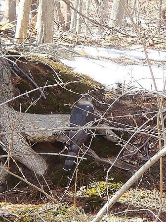 巣穴からでてきたシマリス と クルピコ尻尾のらもす_e0147716_8161687.jpg