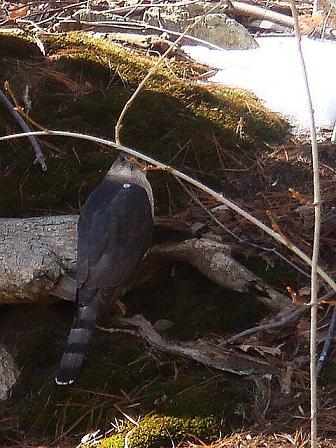 巣穴からでてきたシマリス と クルピコ尻尾のらもす_e0147716_817174.jpg
