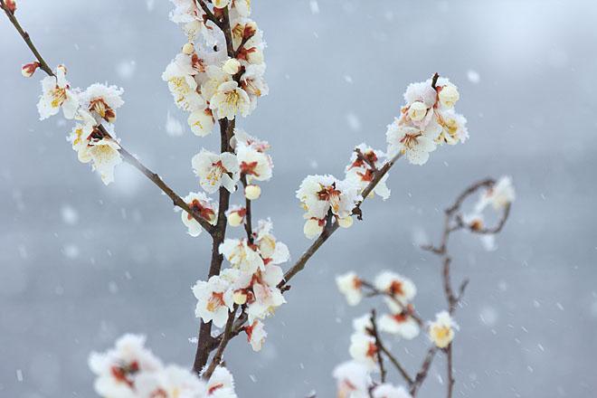 梅に雪~白梅~_c0067040_23123456.jpg