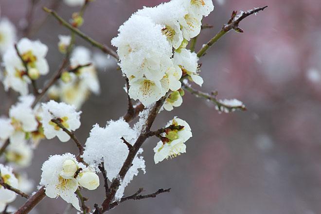 梅に雪~白梅~_c0067040_23124531.jpg