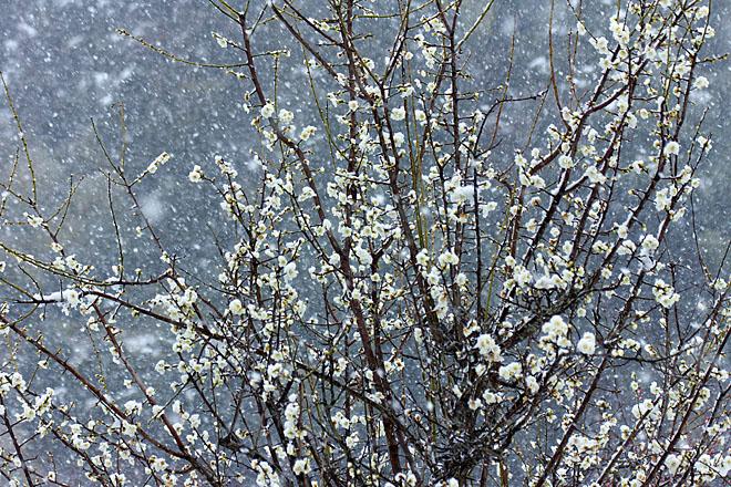 梅に雪~白梅~_c0067040_2391824.jpg