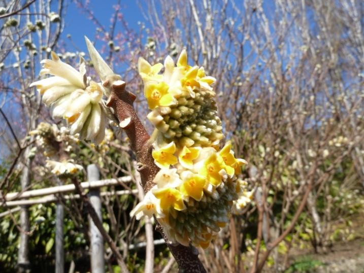 常泉寺のミツマタも春を待っています☆_c0152341_9195640.jpg