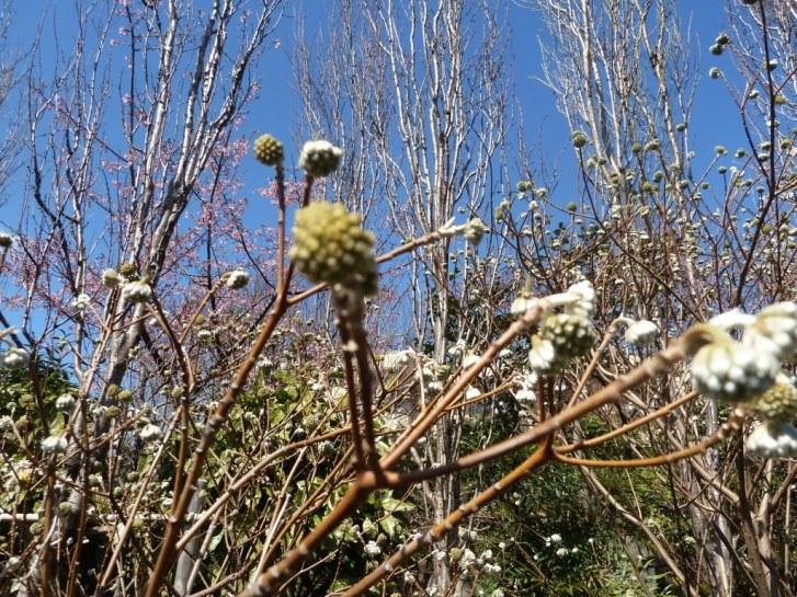 常泉寺のミツマタも春を待っています☆_c0152341_9252298.jpg