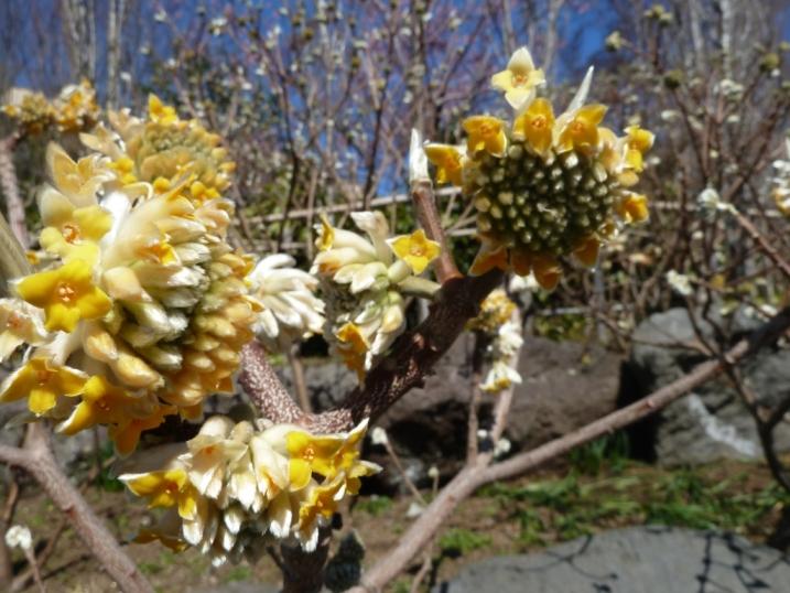 常泉寺のミツマタも春を待っています☆_c0152341_92757100.jpg