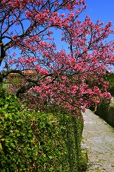カンヒザクラ(桜④ 江戸の花と木)_c0187004_1328589.jpg
