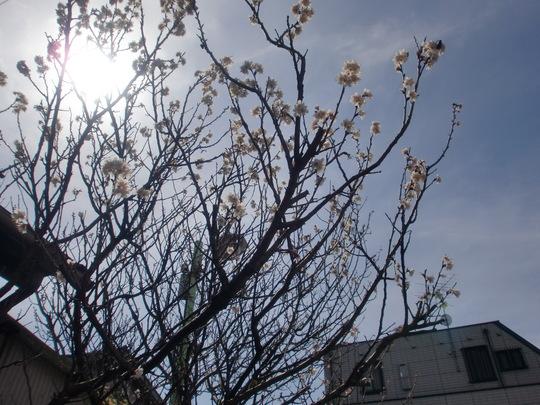 あ!桜が咲いた!_f0173549_15172937.jpg