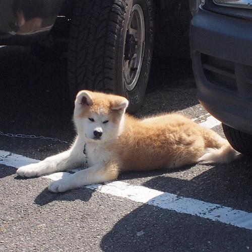 秋田犬保存会静岡支部大会2011_d0068664_22453578.jpg