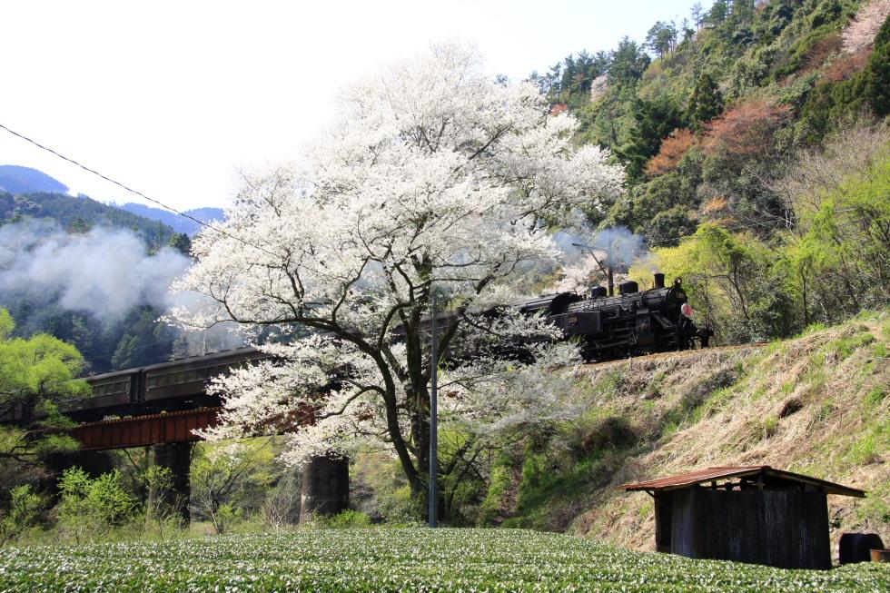 桜花 - 2008年春・大井川 -_b0190710_223928.jpg