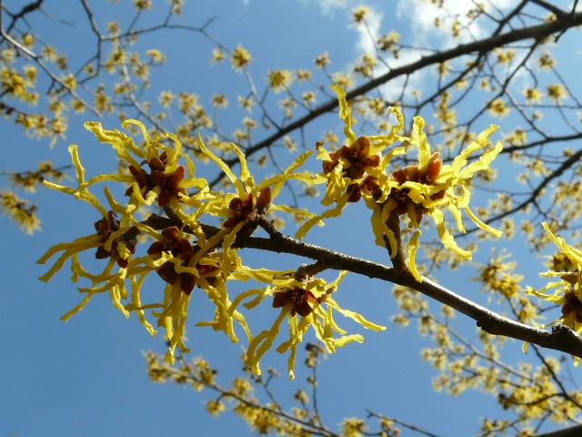 神代植物公園のマンサク_e0145782_1893116.jpg
