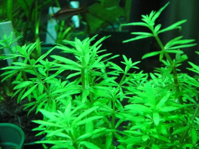熱帯魚・水草・金魚_f0189122_12311647.jpg