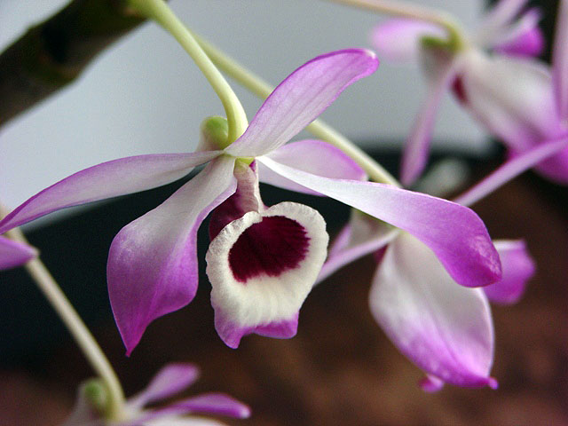 Den.nobile Pink Type(ヘゴづけ)_d0007501_7212566.jpg