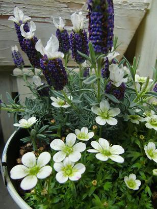 小さな鉢の春待ちの庭・・・_f0168730_1053188.jpg