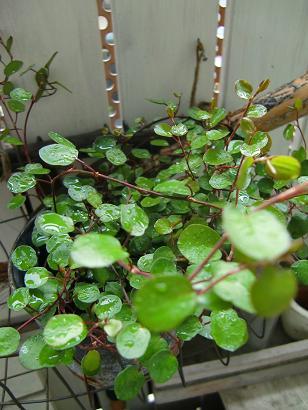 小さな鉢の春待ちの庭・・・_f0168730_10563690.jpg